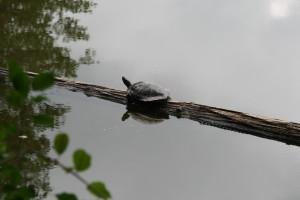 """Ferienspaß """"Wald- und Wasserwoche"""" - Schildkröte im Glashütter Weiher"""