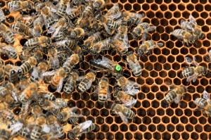 Bienenkönigin (Foto: Hans-Werner Krick)