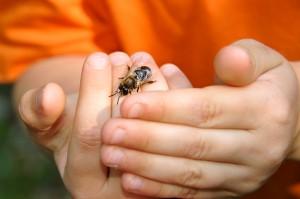 Bienen sind nicht so gefährlich wie manche denken (Foto: Hans-Werner Krick)