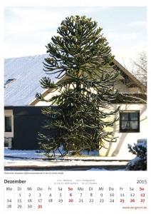 Chilenischen Araukarie (Affenschwanzbaum)