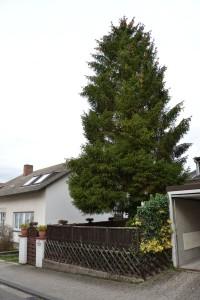 Tannenbaum (Foto: Haßdenteufel)